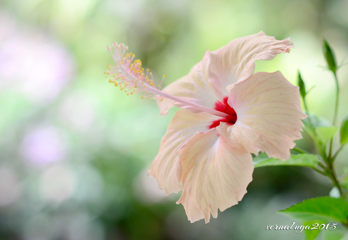 Peach Hibiscus, Floral Photography by Verna Luga