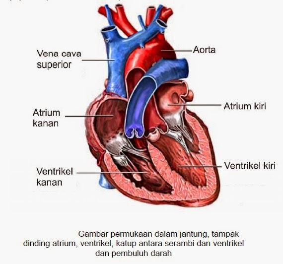 Fungsi Penting 4 Katup Jantung dalam Proses Aliran Darah Manusia