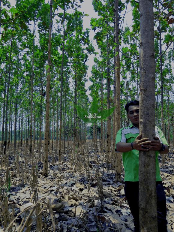 Pohon_Jati_Solomon_Umur_3_tahun_Semarang4
