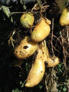 Το δέντρο που παράγει λαχανικά