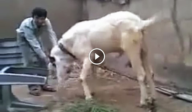 Stupid Pakistani Funny Clips Fighter Bakra Eid Qurbani 2014, Stupid Pakistani Funny Clips Fighter Bakra Eid Qurbani 2014,  cattle farming in pakistan, Stupid Pakistani Funny Clips Fighter Bakra Eid Qurbani 2014, Stupid Pakistani Funny Clips Fighter Bakra Eid Qurbani 2014 video,