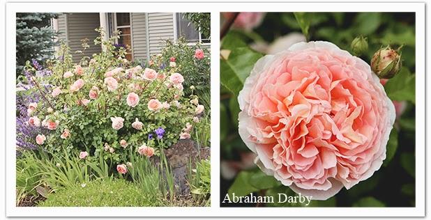 vw garden english rose portraits. Black Bedroom Furniture Sets. Home Design Ideas