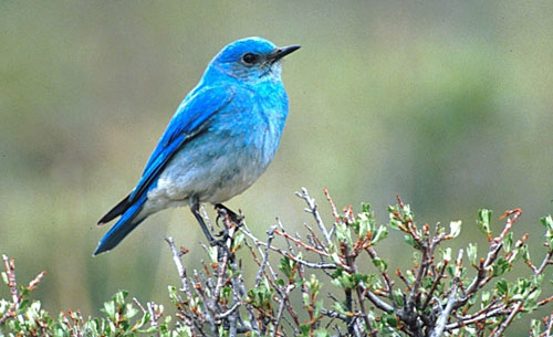 Species of bluebirds