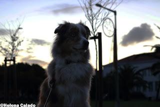 my australian shepherd red merle Angel