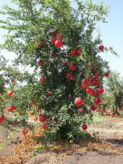Pomegranate Tree With Fruit