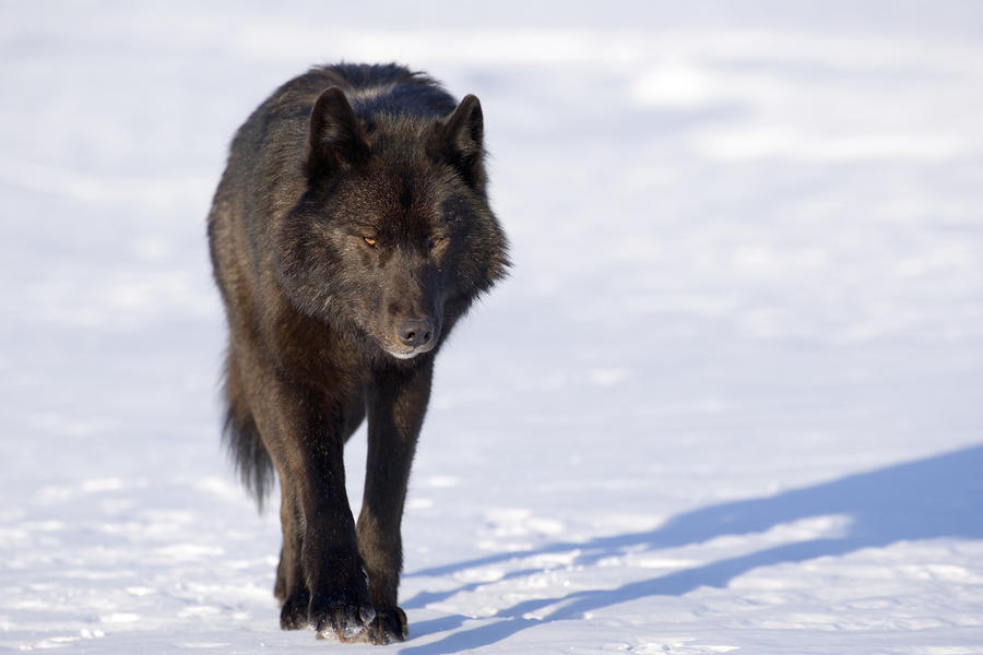 wolf in black and - photo #30
