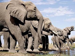 Mustika Mani Gajah Asli