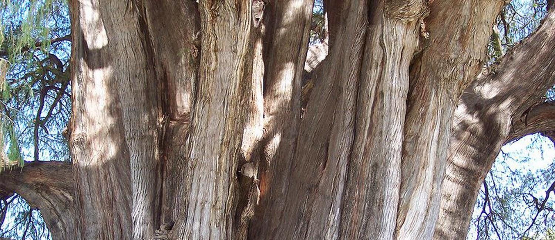 Pohon-Pohon Teraneh di Segenap Penjuru Dunia