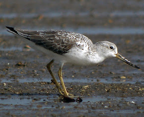 Nordmans Greenshank (Photo Library)