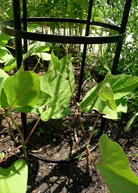 Scarlet Emperor, Phaseolus coccineus, heirloom pole bean