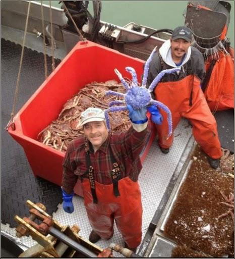 Nelayan Alaska Tangkap Kepiting Unik dan Langka Berwarna Biru