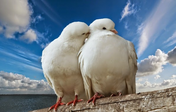 palomas-blancas