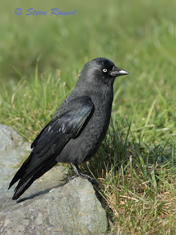 jackdaw, bird, corvid, nature, wildlife