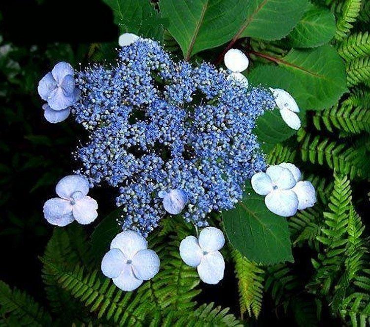 Lacecap hydrangea varieties