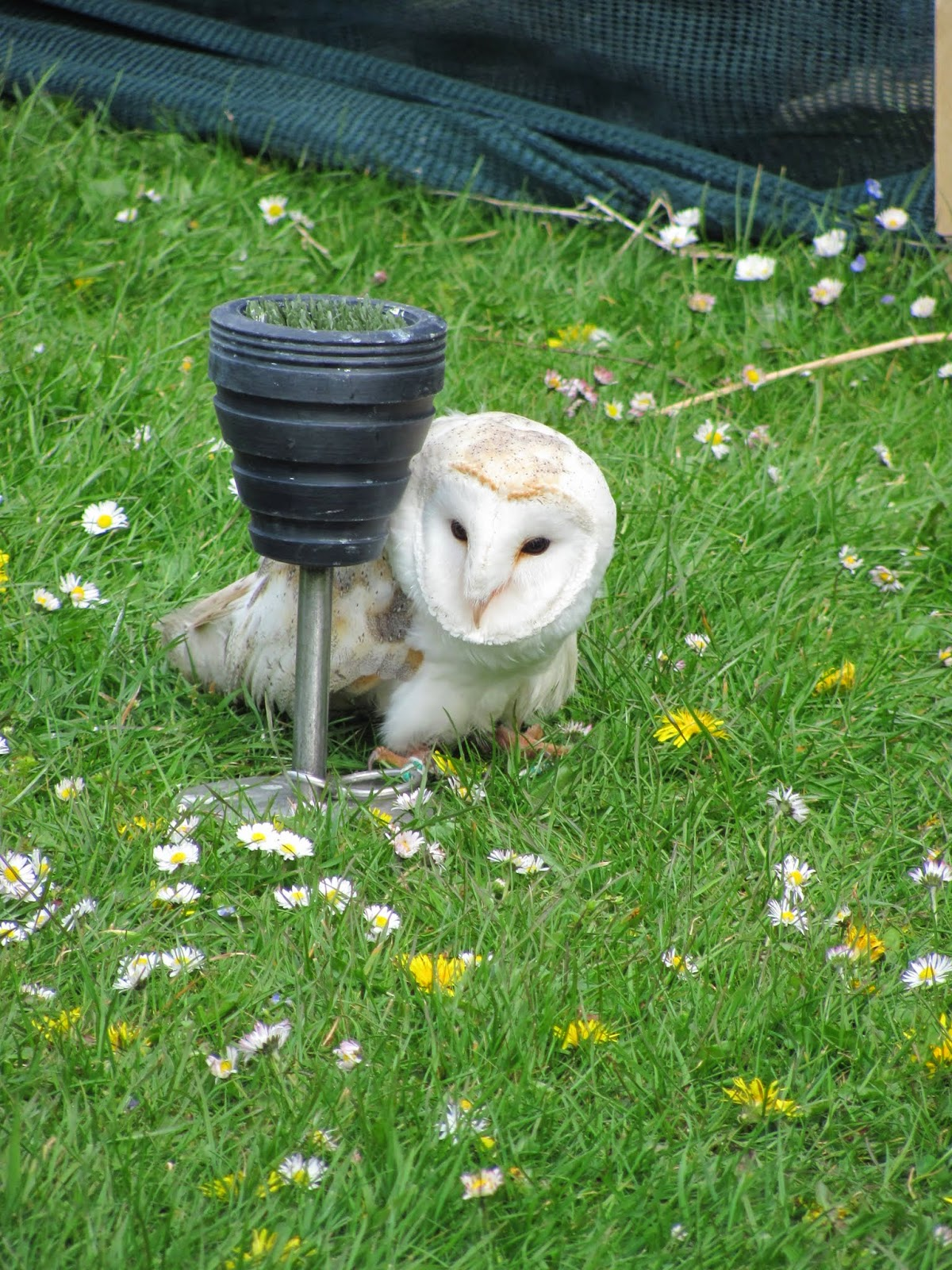 An Owl at the Battle of Clontarf Festival Dublin
