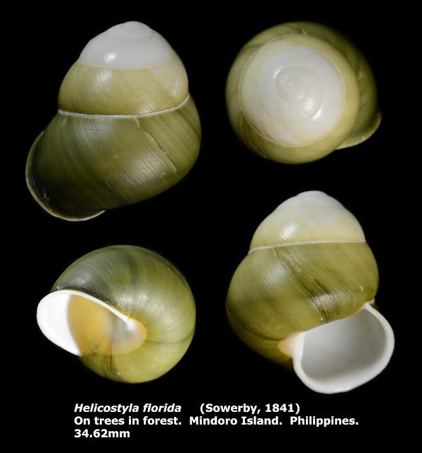 Helicostyla florida 34.62mm 綠光澤蝸牛