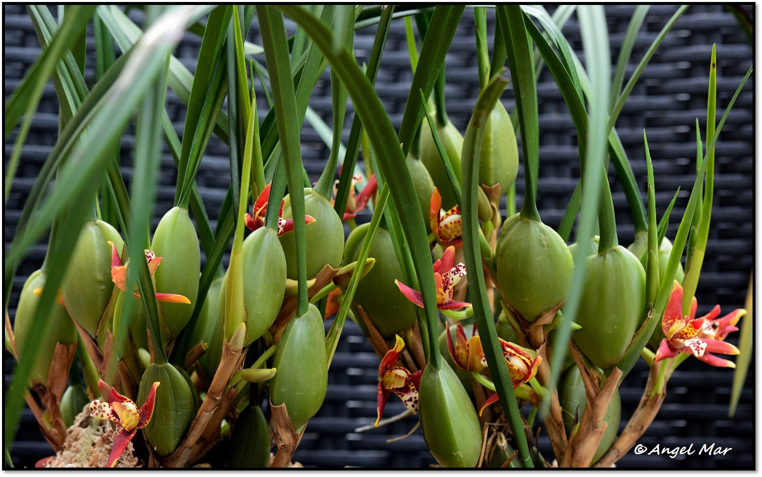 De tamaño intermedio, destaca por sus largas y finas hojas de hasta 50 cms. y sus pseudobulbos ovoides que crecen linealmente unos sobre otros,