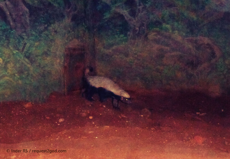Animals, Honey Badger, Ratel, the most fearless animal