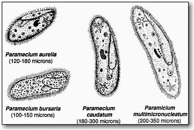 Paramecium Types