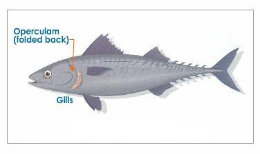 Science inspiration how do fish breathe inside water for Do all fish have gills