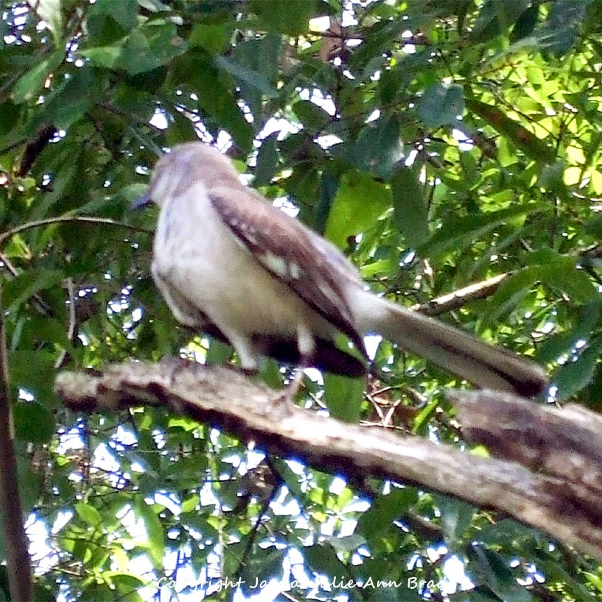 Adult Mockingbird Protective Behavior 17