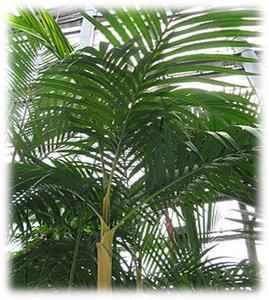 Pinang tutul (pinanga densiflora)
