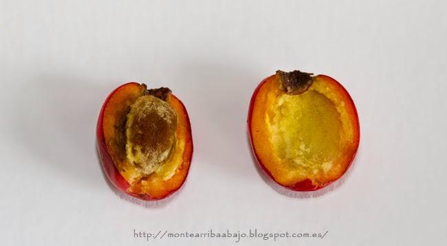 Detalle del corte longitudinal del fruto del majuelo mostrando su semilla.