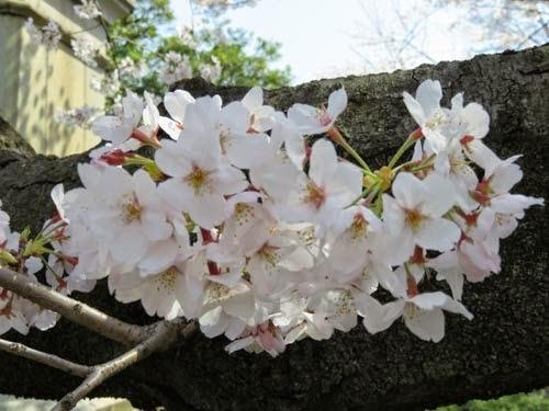 日本武道館下の桜01
