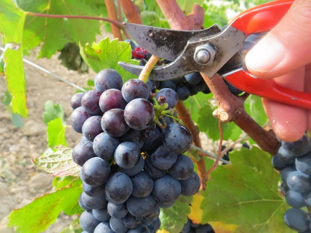 Fotos del sarmiento de la uva 79