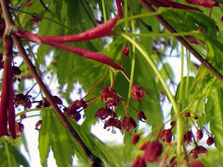 イロハモミジの赤い花