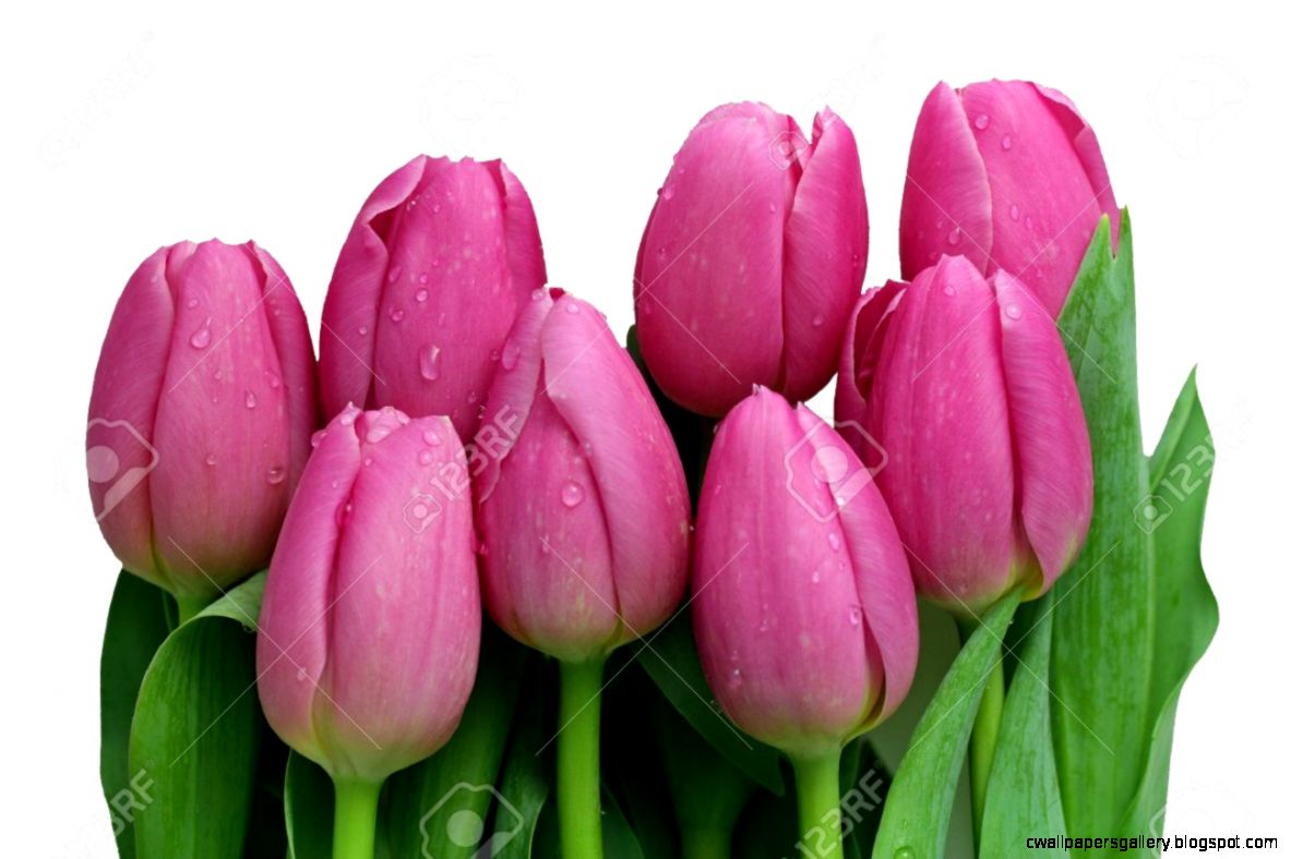 Pink Tulip Bouquet Isolated On A White Background Stock Photo