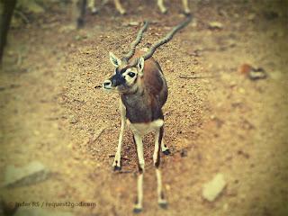 Male Black Buck Deer