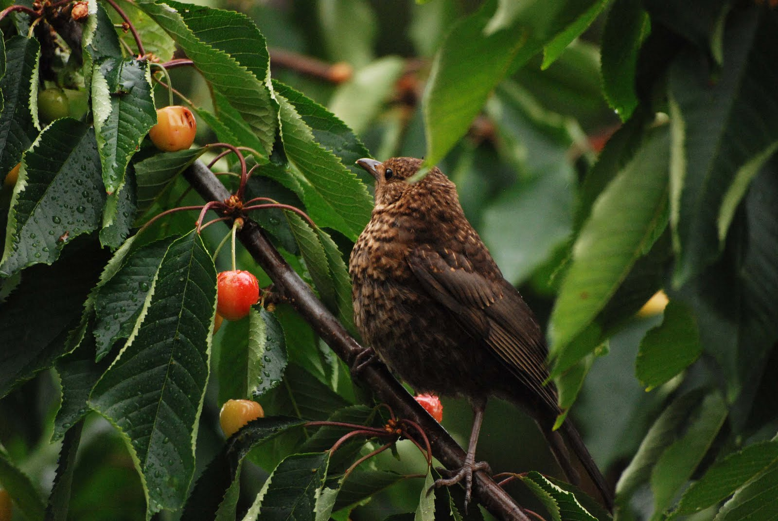 how to keep birds from eating cherries