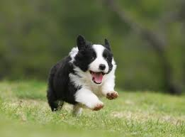 Part-Border Collies image