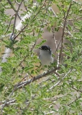 Black-tailed Gnatcatcher Polioptila melanura 094