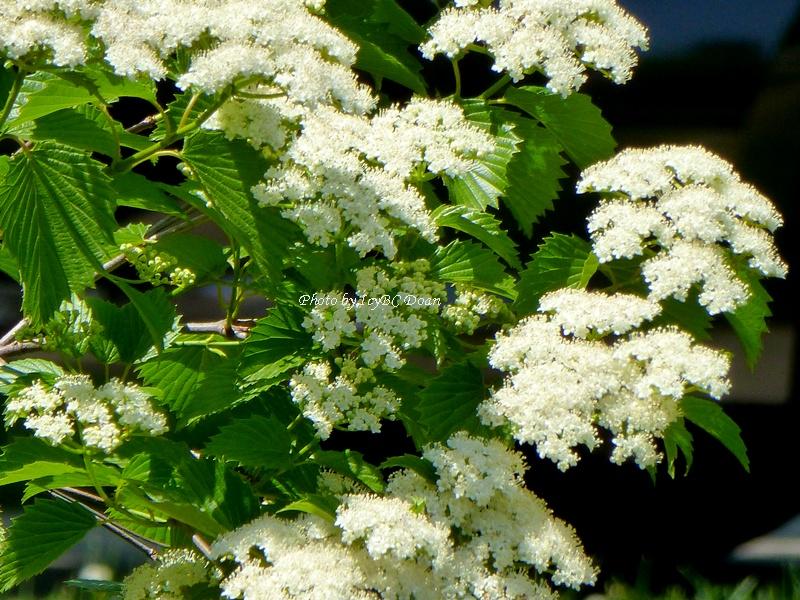 Beyond zephyr white flowering tree white flowering tree mightylinksfo