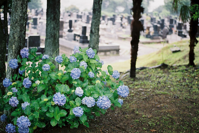 hydrangeas and the graveyards