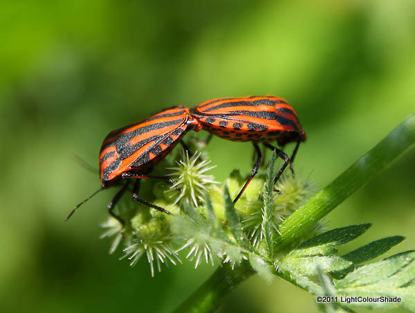 Red And Black Striped Stink Bug Graphosoma lineatum pair mating