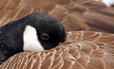 A close-up of a Canada Goose resting with it's bill under its back feathers but with a clear open alert eye.