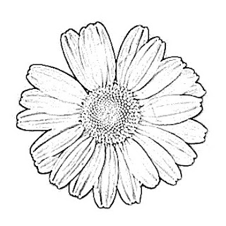 Daisy Flower Sketch