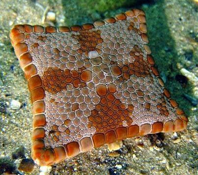 biscuit, starfish
