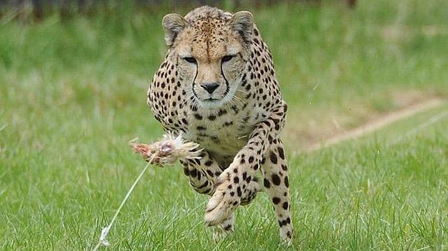Anima-Blog: ¿Por qué el guepardo es el animal más rápido?
