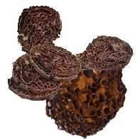 Obat Asam Urat Dari Sarang Semut Papua
