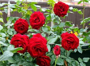 ciri-ciri-bunga-mawar.jpg
