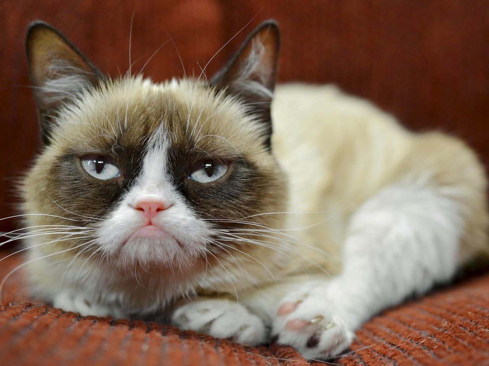 Inilah Kucing Paling Monyok Dalam Dunia