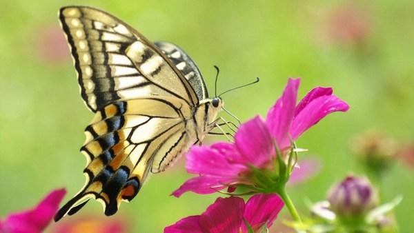 Amazing Butterflies Full Screen HD Wallpaper