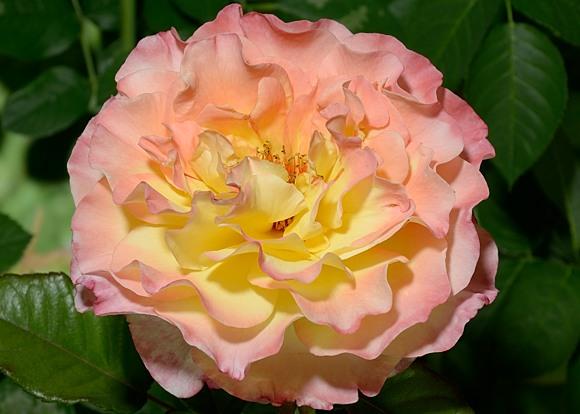 Aquarelle rose сорт розы фото