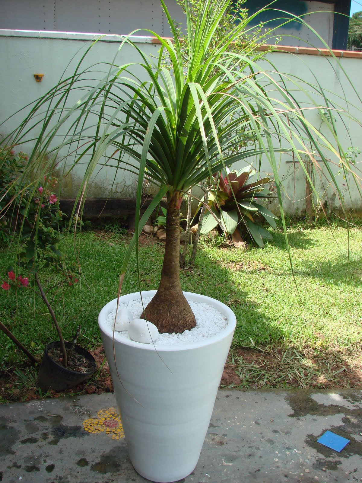 Revenda de plantas ornamentais vasos pe as de barro 2011 - Planta pata de elefante ...