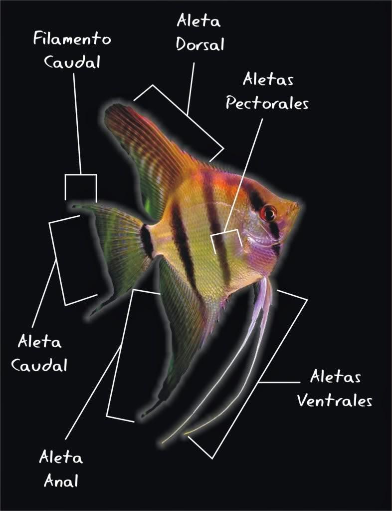 peces, genero, especie y taxonomía: PEZ ÁNGEL O ESCALAR