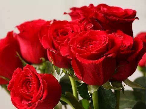 lovely red rose wallpaper